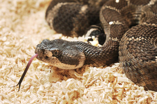 Such a cute little North Pacific rattlesnake. Taken by the Marin IJ.
