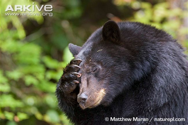 American-black-bear-scratching-head
