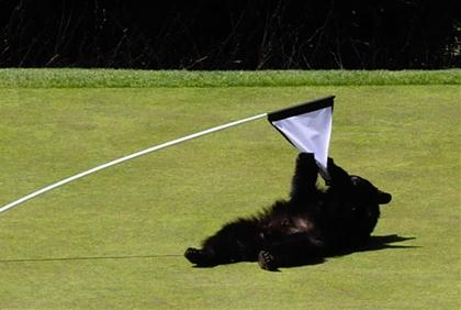 Bears, they're just like us. They hate golf too.